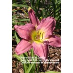 Fair to Middlin Daylily
