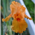 Firebreather Iris
