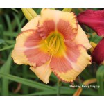 Fleeting Fancy Daylily