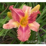 Grams Daylily