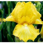 Harlow Gold Iris