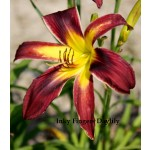 Inky Fingers Daylily