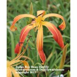 Judge Roy Bean Daylily