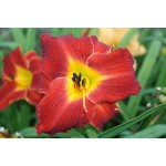 Kents Favorite Two Daylily