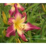 Lake Norman Spider Daylily