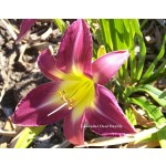 Lavender Deal Daylily
