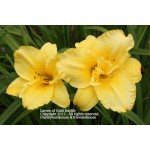 Layers of Gold Daylily