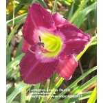 Lexington Avenue Daylily