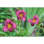 Little Grapette Daylily
