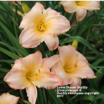 Lotus Dream daylily