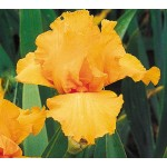 Many Mahalos Iris