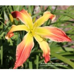 Muscle and Blood Daylily