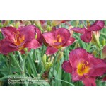 One More Heartache Daylily
