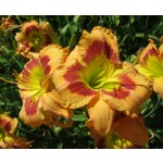 Pamela Williams Daylily