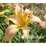 Persimmon Daylily
