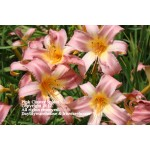 Pink Cluster Spider Daylily