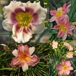 Pink Daylily Collection
