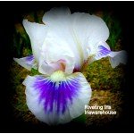 Riveting Iris
