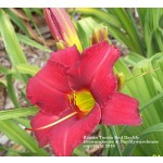 Rootin Tootin Red Daylily