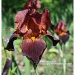 Ruby Mine Iris