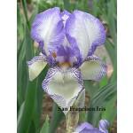 San Francisco Iris