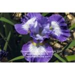 Sombody Loves Me Siberian Iris