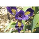 Wooly Bully (Versata) Iris