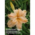 Scatterbrain Daylily