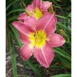 Second Hand Rose Daylily