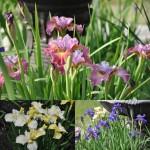Siberian Noid Irises