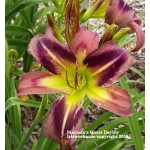 Starman's Quest Daylily