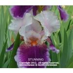 Stunning Iris