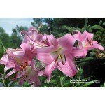 Oriental Trumpet Tabledance Lily