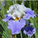 Tall Cool One Iris