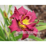 Thanks Two Friends Daylily
