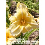 Tiffany Gold Daylily