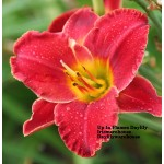 Up In Flames Daylily