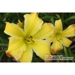 Valley Monster Daylily