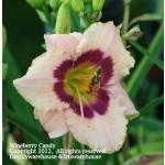 Wineberry Candy Daylily