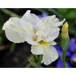Yellowtail Siberian Iris