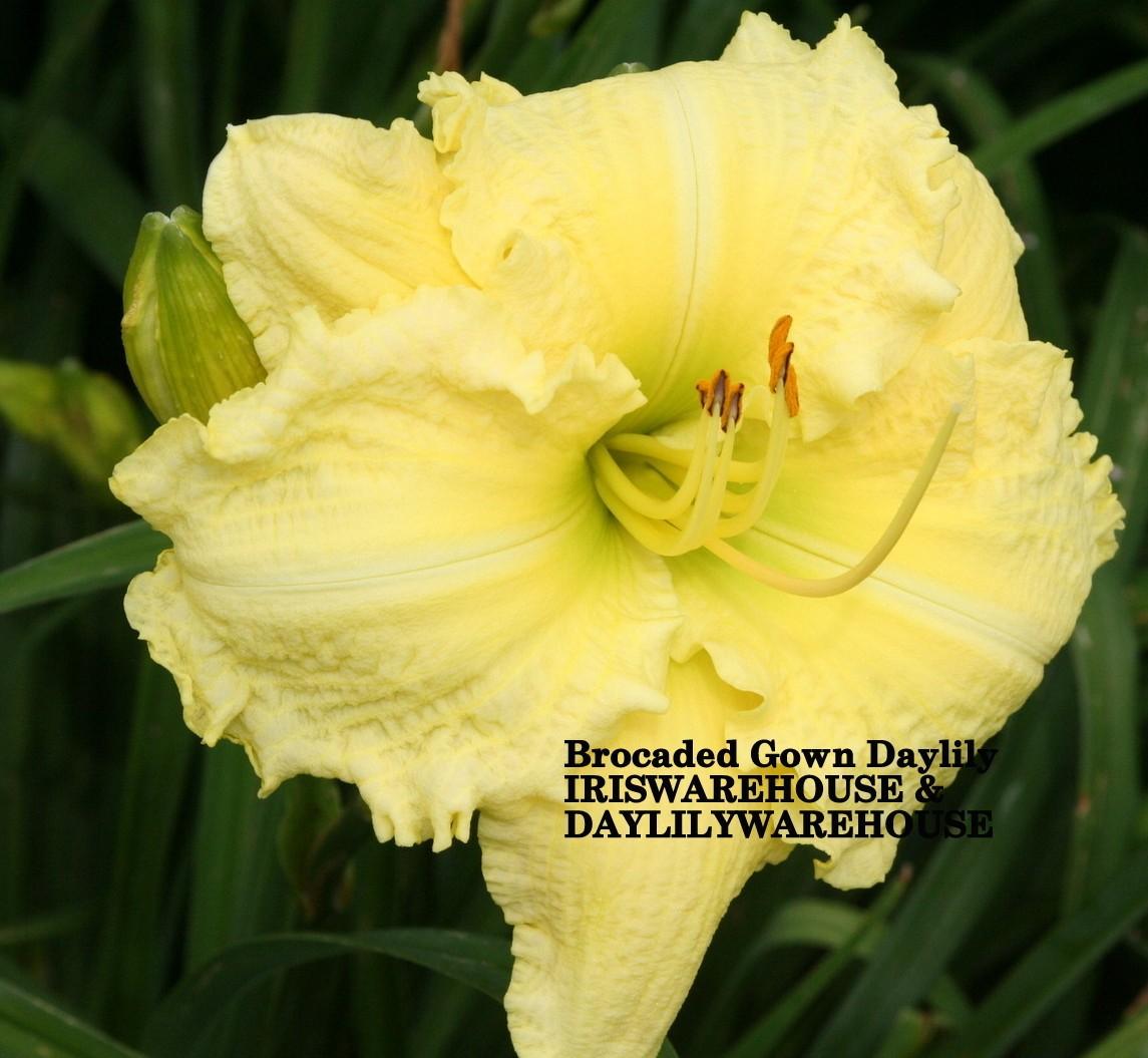 BUY IRIS & DAYLILIES ONLINE Brocaded Gown Daylily iriswarehouse.com