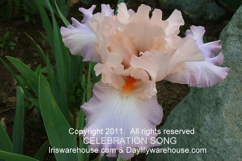 Celebration Song Iris