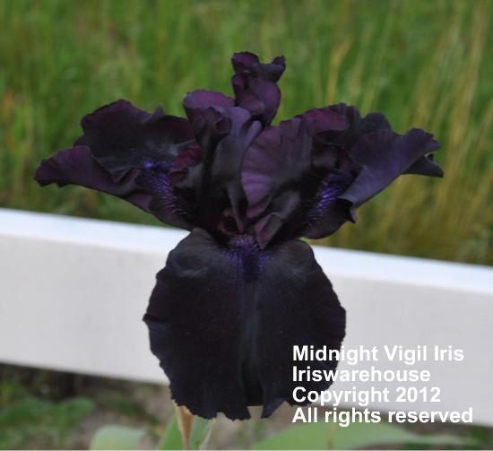 Midnight Vigil Iris