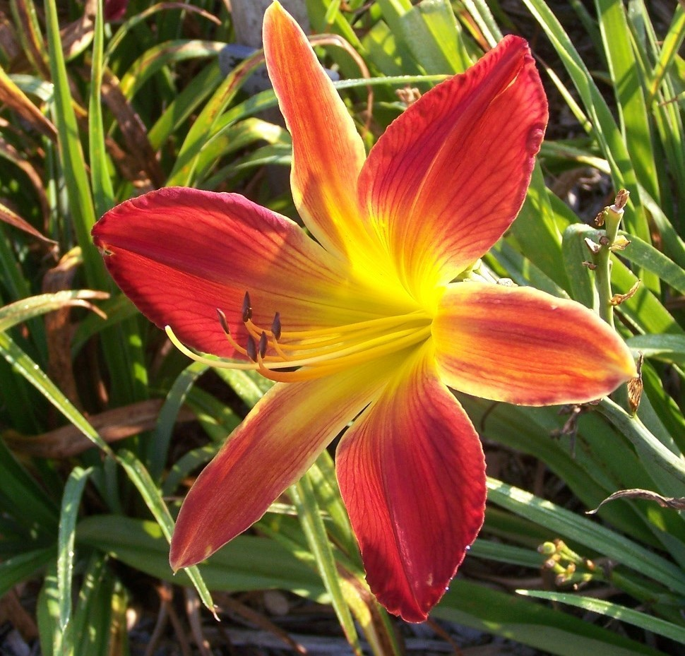 Open Hearth Daylily