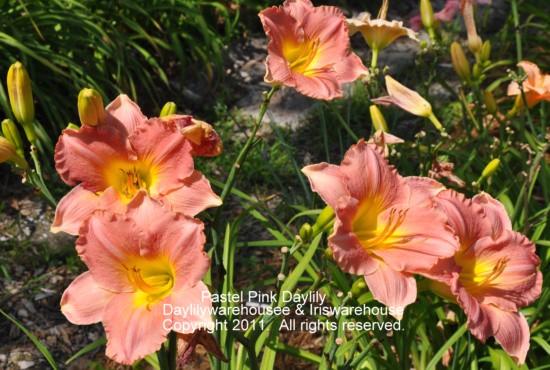 Pastel Pink Daylily