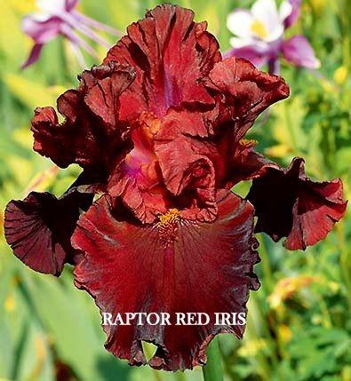 Raptor_Red_Iris