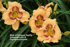 Web of Intrigue Daylily