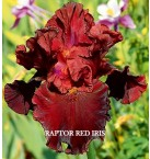 Raptor Red Iris