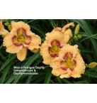 Web of Intrigue Daylily