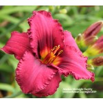 Alaskan Midnight Daylily